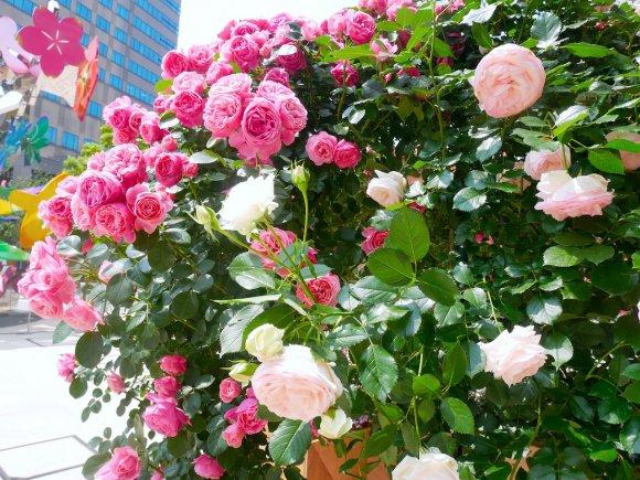 6/3迄!バラと赤プリの共演!ROSE WEEK2018を食べ尽くせ